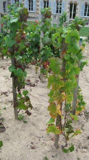 Vieilles Vignes Françaises de Bollinger
