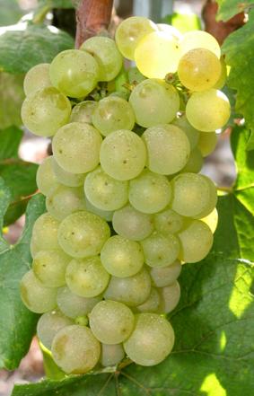 """Résultat de recherche d'images pour """"grappe raisin champagne"""""""