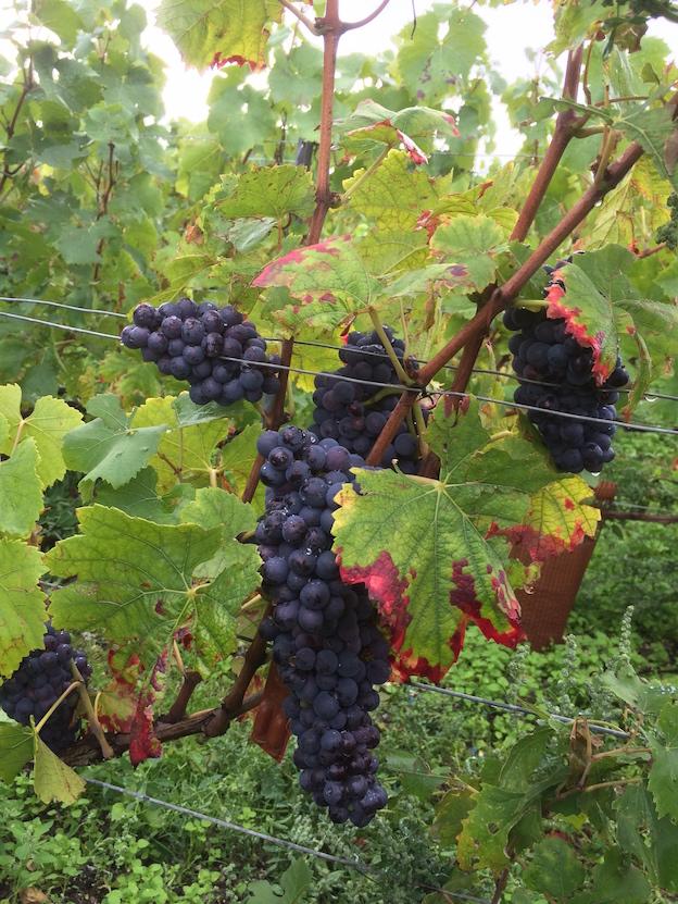 Grappe des Pinots Noirs premier crus de la parcelle que vous avons vendangés