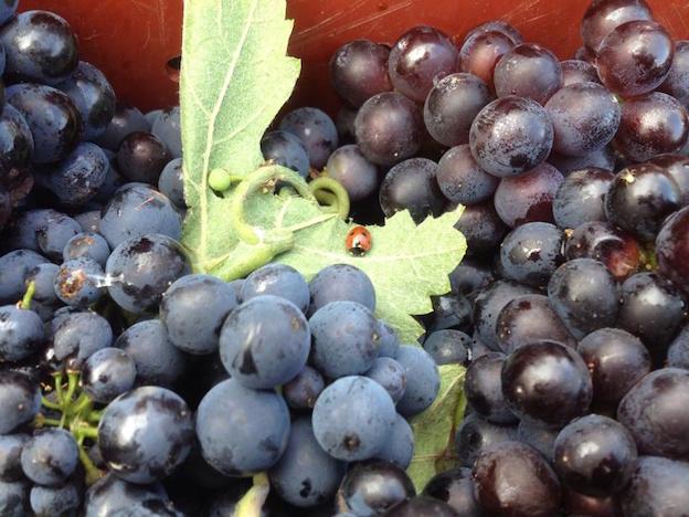Pinot Noir de chez Louis Dehu / Vallée de la Marne